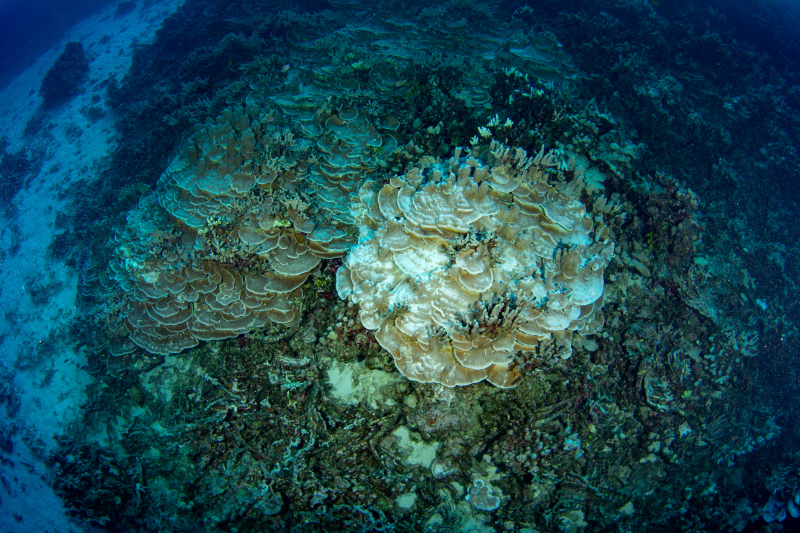 Wall bleached plate coral20 star