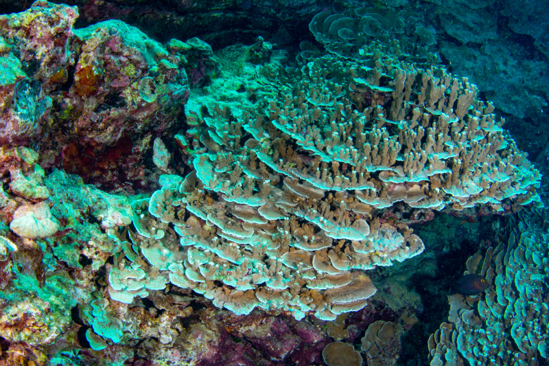 Plate coral fields4